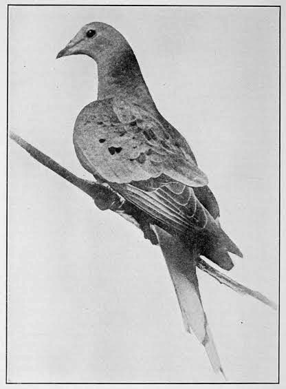 Martha, the last passenger pigeon. Photo by Enno Meyer